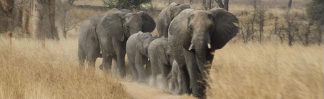 Team of elephants
